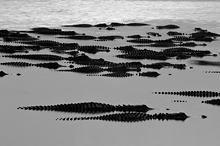Alligators Gathered on the Myakka River, FL