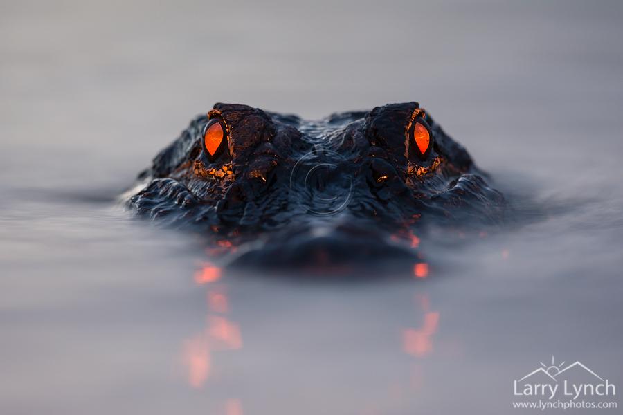 Gator Eyeshine LML9471