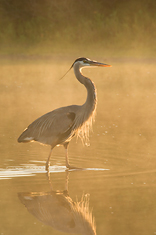 Great Blue Heron, Myakka River, Florida
