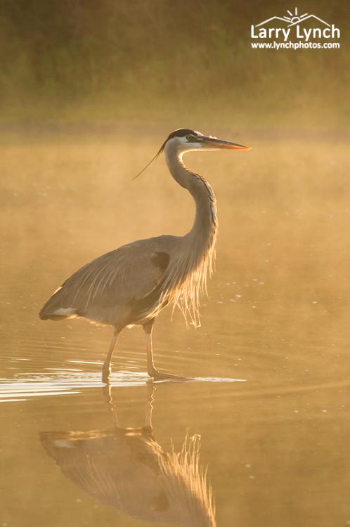 Great Blue Heron, Myakka River, Florida