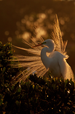 Great Egret, Full Breeding Plumage, Tampa Bay, FL