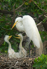 Great Egret Family #1, Tampa Bay, Florida