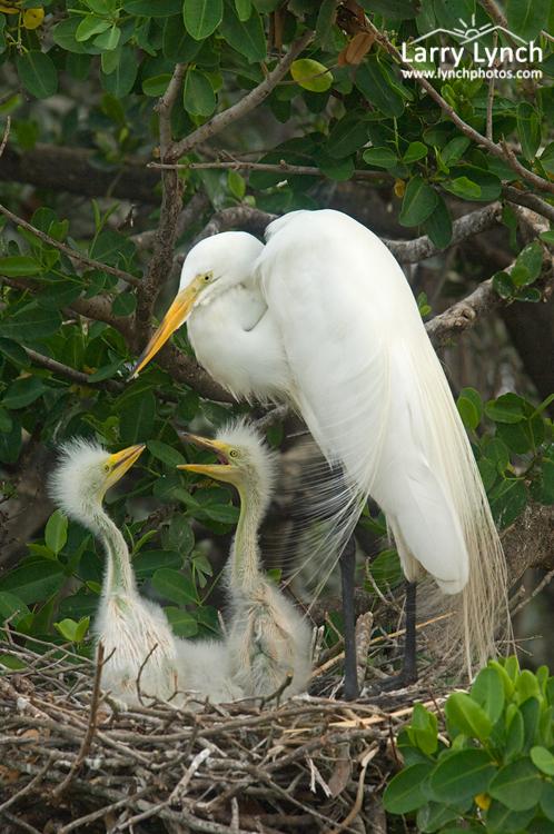 Great Egret Family #1, Tampa Bay, Florida