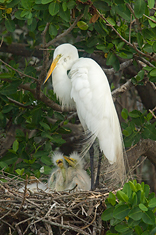 Great Egret Family #2, Tampa Bay, Florida