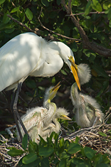 Great Egret Family #3