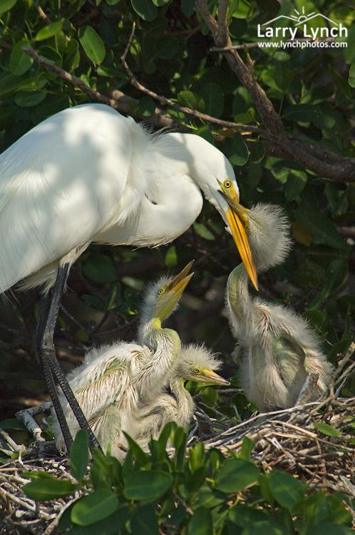 Great Egret Family #3