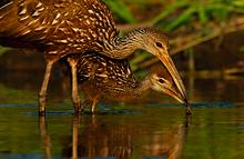Limpking Feeding Young #1 Myakka River, Florida