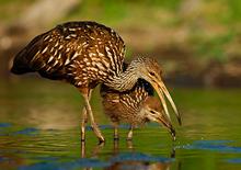 Limpkin Feeding Young #2 Myakka River, Florida