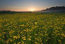 Meadow of Tickseed, Myakka River State Park