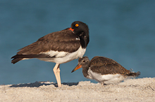 Oyster Catcher and Chick, St Pete, FL