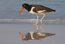 Oyster Catcher #2, Ft Desoto, Florida