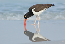 Oyster Catcher #1, Ft Desoto, Florida