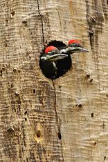 Pileated Woodpecker Chicks, Florida