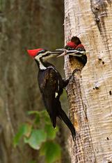Pileated Woodpecker,Feeding Chicks, Florida