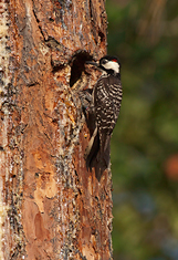 Red Cockaded Woodpecker (Male) at Nest, Florida