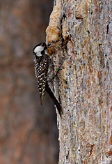 Red Cockaded Woodpecker at Nest, Florida