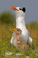 Royal Tern and Chick, 3 Rooker Bar, Gulf of Mexico