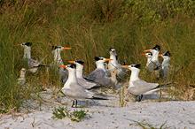 Royal Terns & Chicks, 3 Rooker Bar, Florida