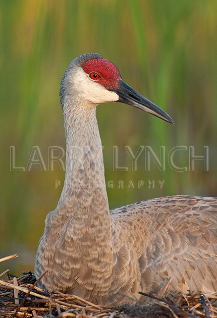 Sandhill Crane #12
