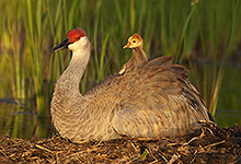 Sandhill Crane and Chic #1