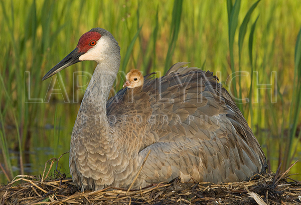 Sandhill Crane and Chic #6