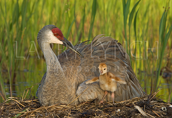 Sandhill Crane and Chic #8