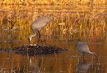 Sandhill Cranes Working on Nest Site #2