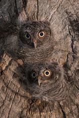 Screech Owl-owlets LML5502