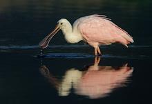 Roseate Spoonbill Drinking #2, Myakka River, FL
