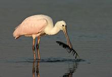 Roseate Spoonbill & Feather, Myakka Lake, Florida
