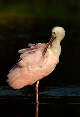 Roseate Spoonbill Preening, Myakka Lake, Florida