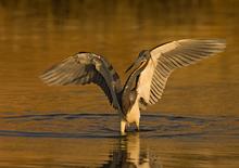 Tricolored Heron Stalking Prey