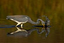 Tricolored Heron Feeding, Myakka River, Florida