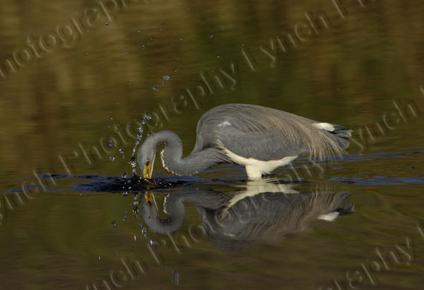 Tricolored Heron Striking
