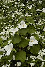 Trillium & White Fringed Phacellia