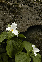 Trillium Growing From Boulder