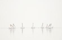 White Pelicans in Fog, Myakka Lake, Florida