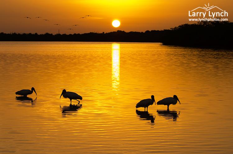 Woodstorks Silhouetted at Sunrise, Ft Desoto ,FL